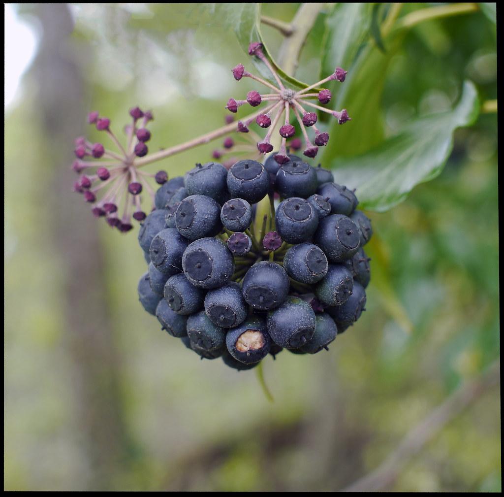 petit fruit hivers
