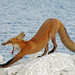 Downward Fox by marylee.agnew