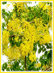 Stunning pedulous yellow flowers of Cassia fistula (Golden Shower Tree/Cassia, Purging Cassia/Fistula, Indian Laburnum), Feb 7 2014