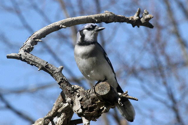 Blue Jay in Mulberry Tree Remnant
