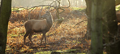 Red Stag in Woods