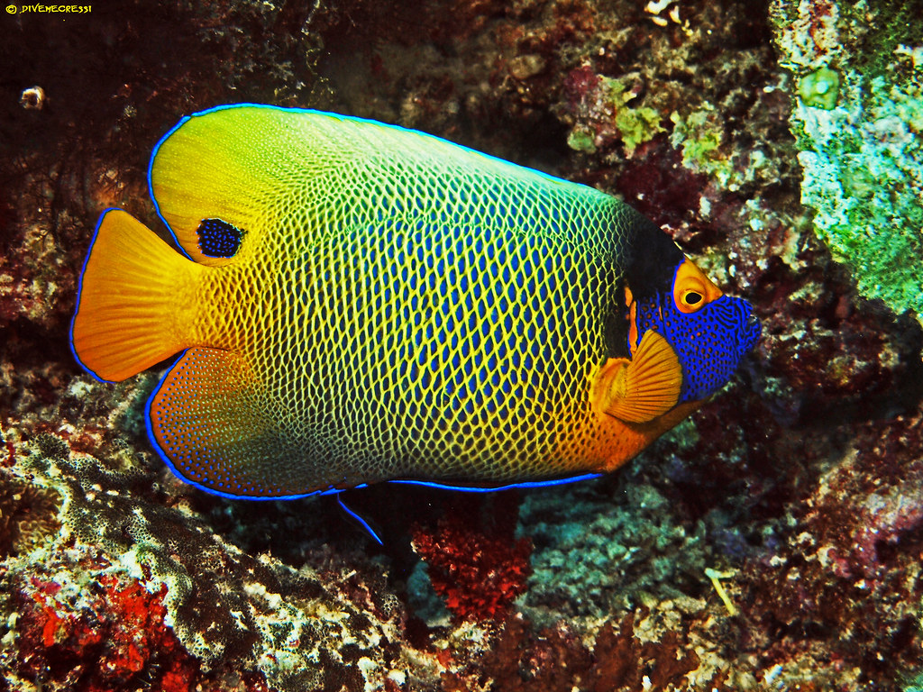 Blue faced Angelfish - Pomacanthus xanthometopon