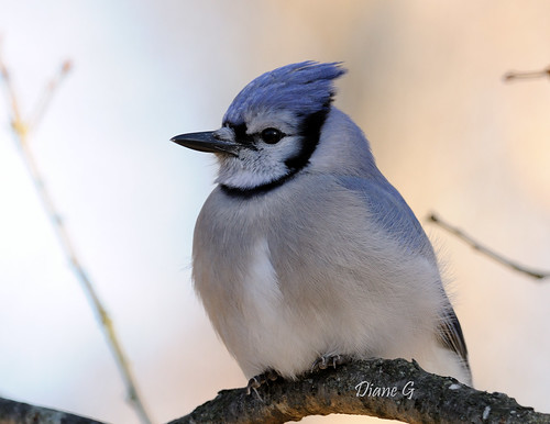 Blue Jay   39