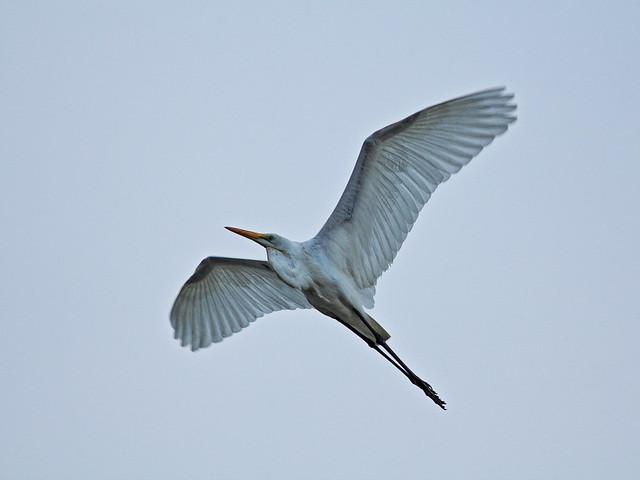Great Egret 4-20160107