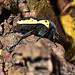 Coleoptera (Escarabajo)