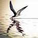 DSC_2755_Skimmer by trinrn7