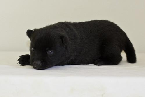 Kumi-Litter5-Day20-Puppy3-Male-c