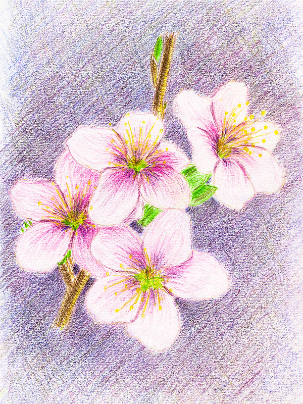 Cherry-plum in bloom. Colored pencils