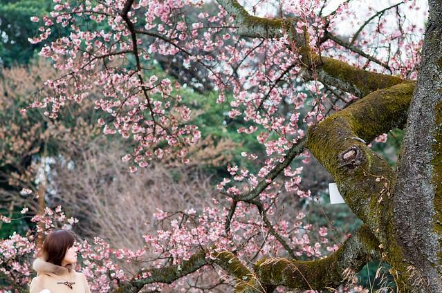 東京大学付属植物園_桜