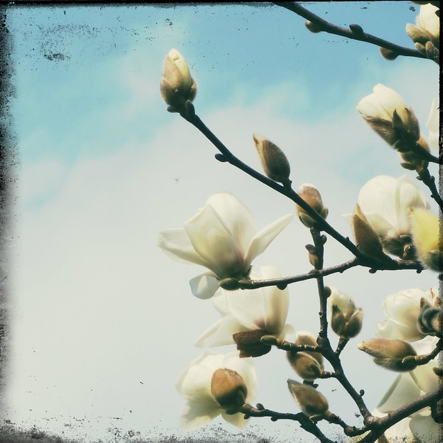 White Magnolia and Buds