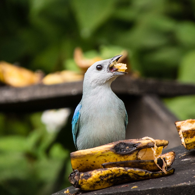 Blue=gray Tanager with a mouthful of banana