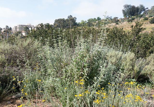 White sage (Salvia apiana)