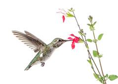 Annas Hummingbird and Salvia Flowers