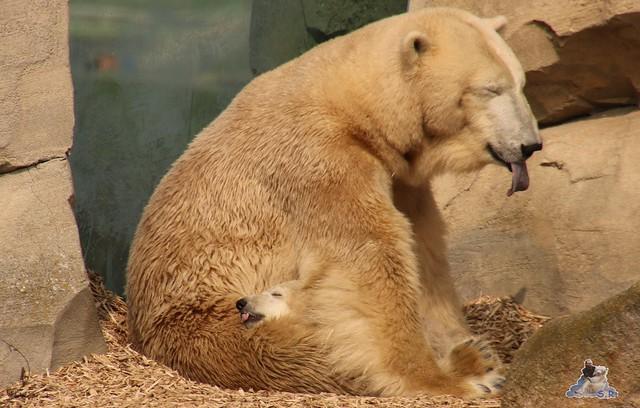 Eisbär Lili im Zoo am Meer Bremerhaven 09.04.2016 Teil 1  080