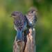 Baby bluebirds (eastern) by Phiddy1