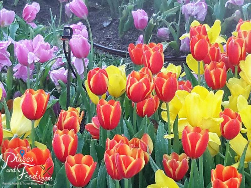 tulip farm in thailand Suan Tung Lae Khom Chiang Rai Park tulips