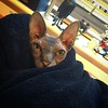Jinx will sleep anywhere if he had a blanket. #sphynx #sphynxofinstagram #catsofinstagram