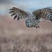 Great Grey Owl by mallardg500