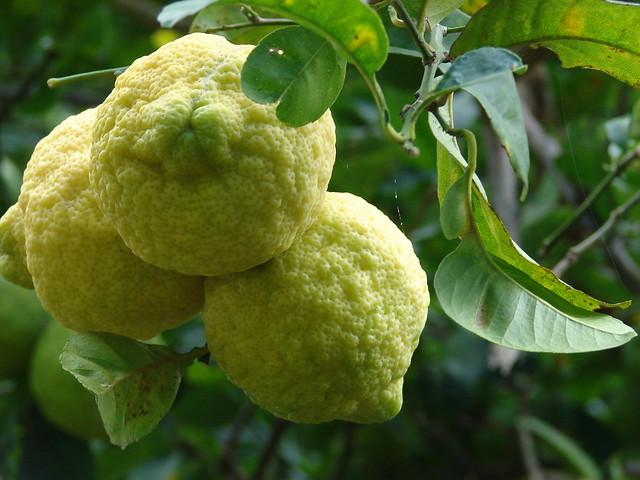 starr-061105-1366-Citrus_jambhiri-fruit-Makawao-Maui