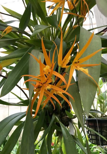Brassia aurantiaca
