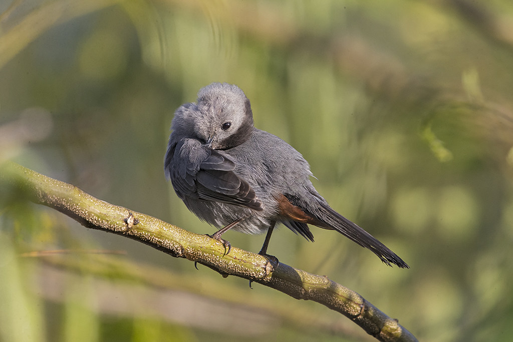 Grey Catbird    Cuba