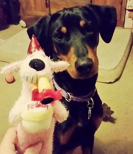 #FirstBirthday #dogtoy #BirthdayGirl #DobermanPuppy #DogBirthday #AdoptDontShop #LapdogCreations ©LapdogCreations