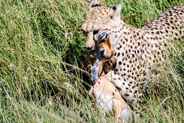 Antelope Prey
