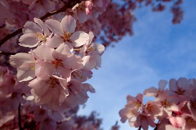 2016.4.6 桜
