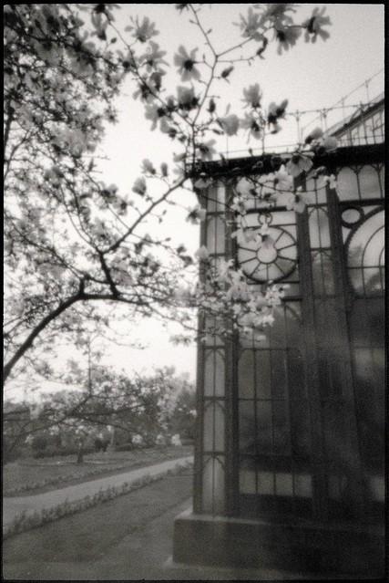 Magnolien vor dem Maurischen Landhaus