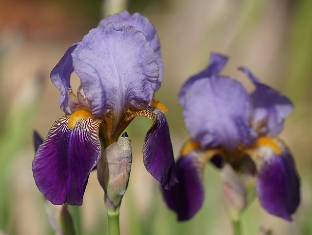 Iris 'Alcazar' - Vilmorin 1910 26273082730_4c13ff9910_z