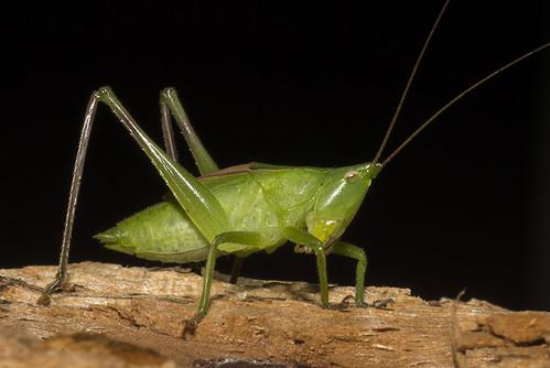 Neoconocephalus sp (Tettigoniidae, Conocephalini) a
