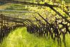 traditional vineyard
