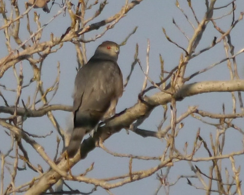 Sharp-shinned Hawk - 2