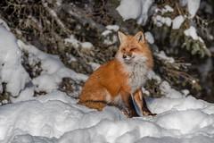 Red fox 03