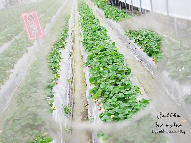 台北內湖一日遊採草莓下午茶草莓園 (18)