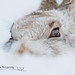 Mountain hare close up by cjdolfin