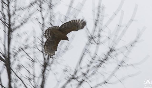 Snow hawk flying away