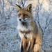 Red fox (Vulpes vulpes) vos by RonW's Nature Photography