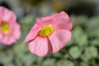 DSC_2433 Oxalis obtusa Jacq. 'High Pink '