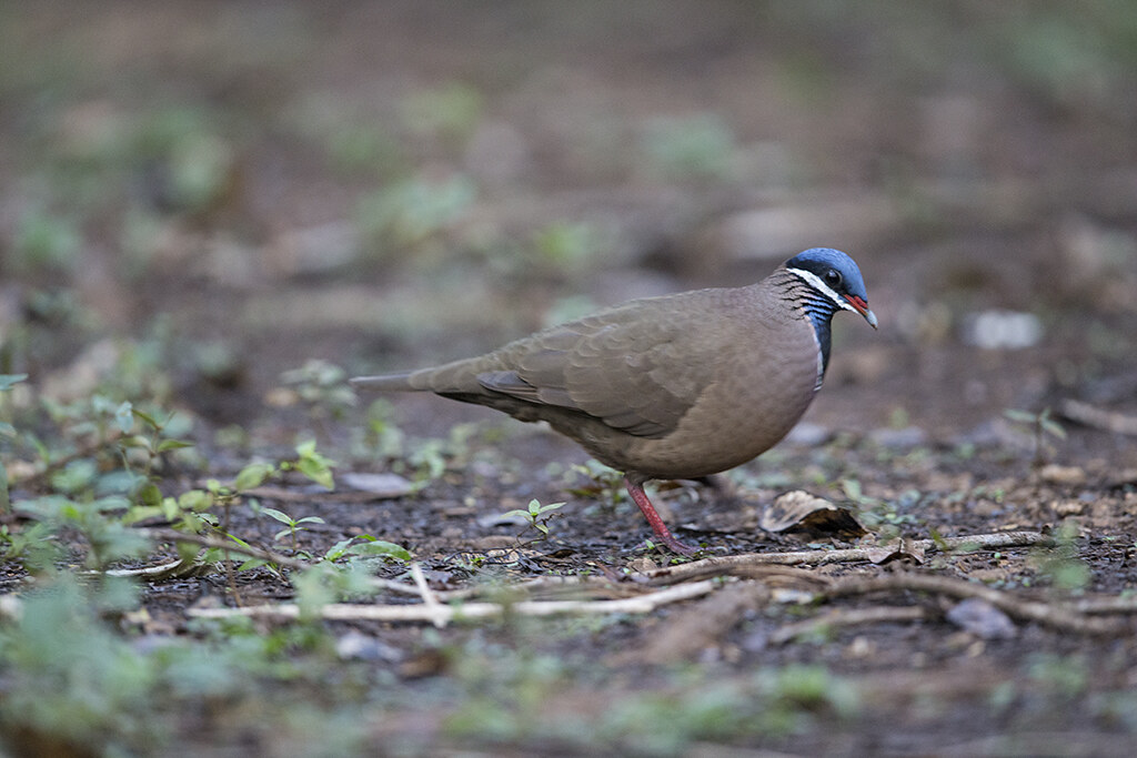Blue-headed Quail-Dove     endemic to Cuba
