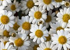 Argyranthemum Caucus