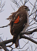 Red-tailed Hawk with wing marker 405 (right side only)