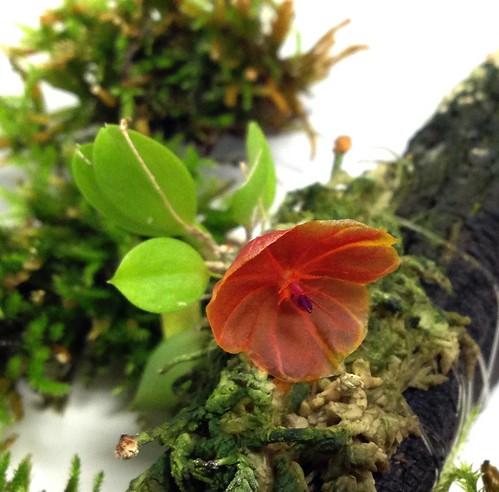 Lepanthes telipogoniflora first bloom!