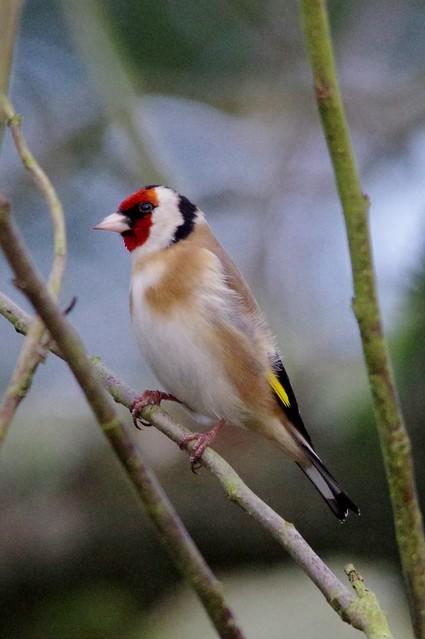 IMGP7552 Goldfinch, The Lodge, Sandy February 2016