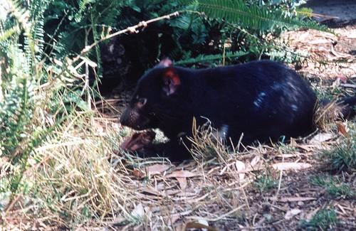 Tasmanian Devil, San Diego Zoo