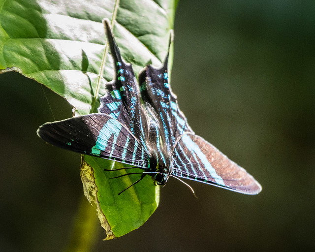 migratory moths