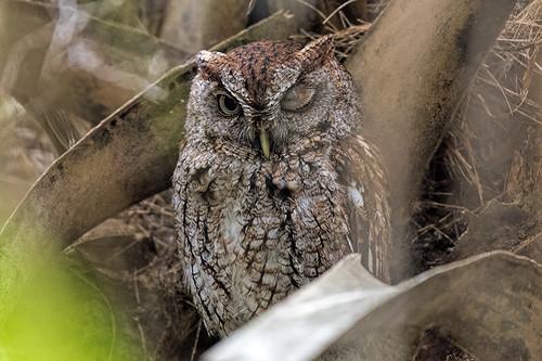 Green Cay, FL: Eastern Screech-Owl