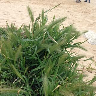 Image de Praia do Meco (Moinho de Baixo) près de Sesimbra. geo:country=portugal taxonomy:kingdom=plantae taxonomy:family=poaceae taxonomy:genus=hordeum geocode:method=gps dwc:basisofrecord=humanobservation dc:licence=ccby dwc:family=poaceae dwc:recordedby=dagendresen xmlns:dwc=httprstdwgorgdwcterms dwc:country=portugal taxonomy:species=murinum geocode:accuracy=20meter dwc:recordedby=httporcidorg0000000223525497 dwc:scientificname=hordeummurinumlsubspleporinumlinkarcang dwc:taxonid=httpwwwgbiforgspecies4270548 taxonomy:binomial=hordeummurinumsubspleporinum taxonomy:common=mousebarleyharebarleycharmingbarley dwc:decimallatitude=3848942 dwc:decimallongitude=918435 dwc:locality=mecabeach geo:lat=3848942 geo:lon=918435 geo:locality=mecabeachwithsanddunes geo:placename=mecabeach dwc:occurrenceid=urnuuidc1d79b600a4611e6a8370800200c9a66 dwc:locationid=httpswsgeonamesorg10342405 dwc:coordinateaccurracyinmeters=20