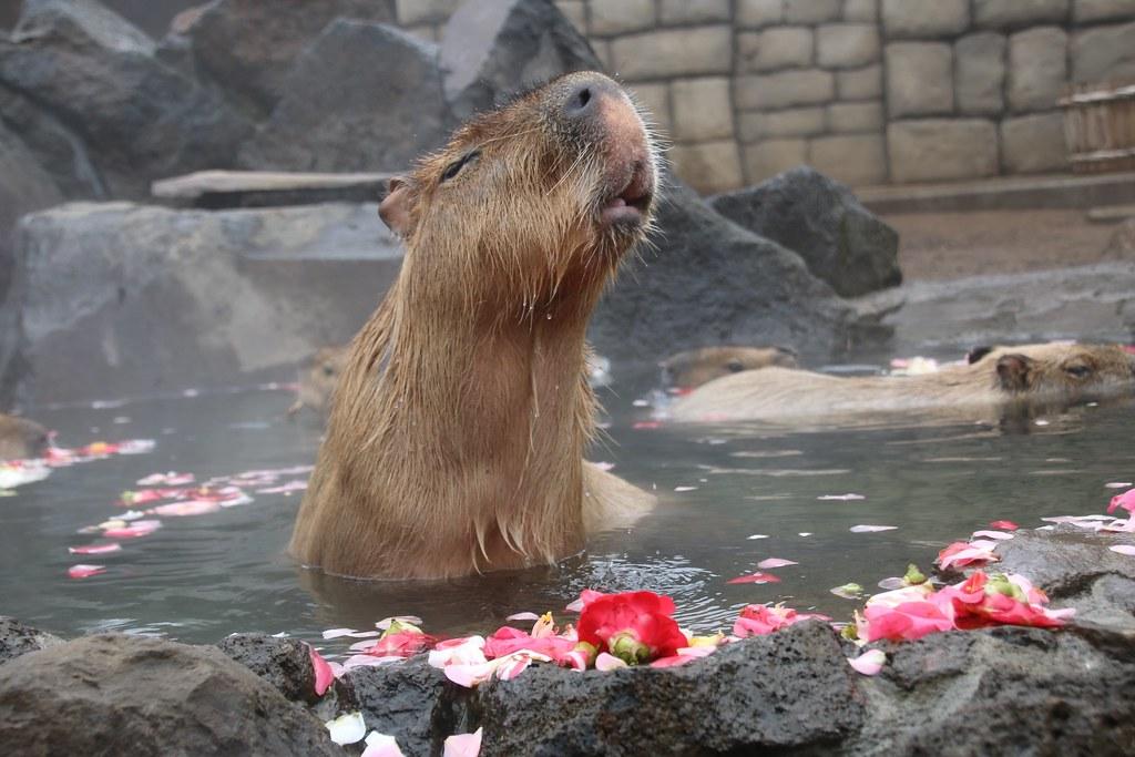 伊豆カピバラ Capybara