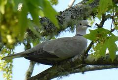 Eurasian-collared Dove, Astoria, Oregon